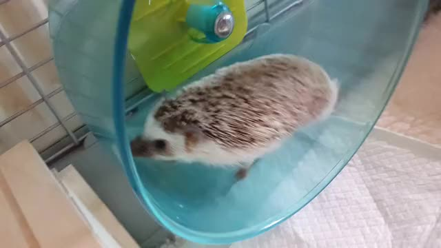 Watch Hedgehog getting exercise GIF on Gfycat. Discover more aww GIFs on Gfycat