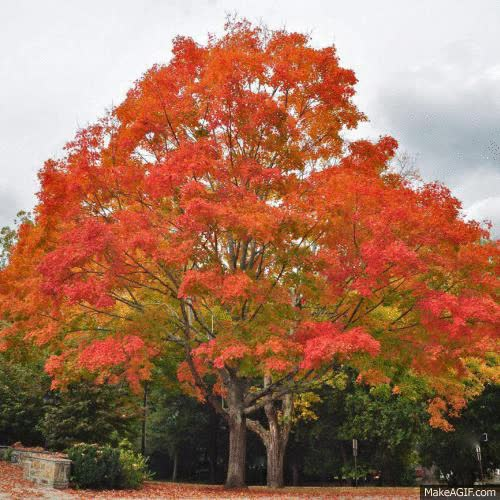 Watch and share Timelapse Tree Fall Photography Leaves GIFs on Gfycat