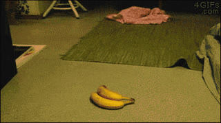 Oh noes! My only weakness - a BANANA! • r/StartledCats GIFs