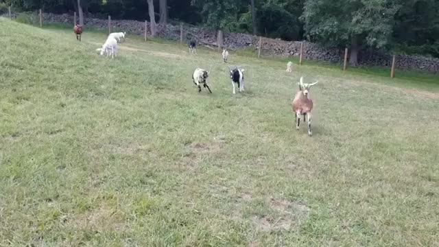 Watch Happy goats at Goats of Anarchy Sanctuary GIF by @b12ftw on Gfycat. Discover more Goats of Anarchy, farmsanctuary, friendsnotfood, govegan GIFs on Gfycat
