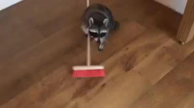 Raccoon, raccoon sweeping floor GIFs