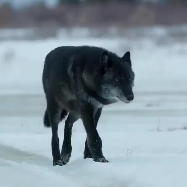 Watch and share Nature GIFs and Wolf GIFs by jakunai on Gfycat