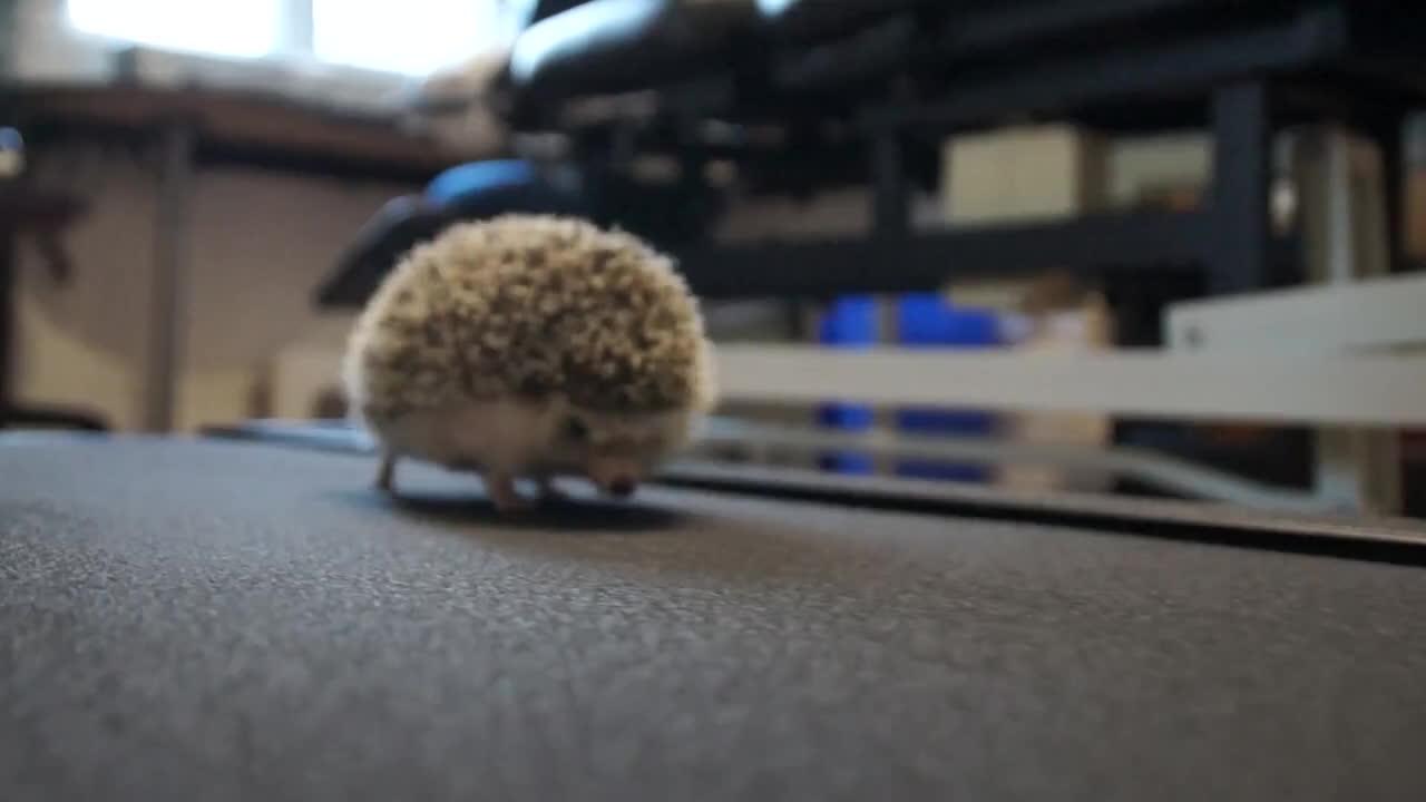 Hedgehogifs, tippytaps, Hedgehog on a treadmill (reddit) GIFs
