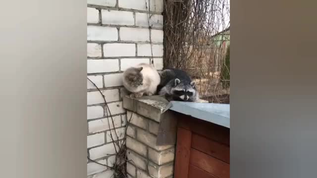 Watch Raccoon Cat GIF by @feralshyguy on Gfycat. Discover more related GIFs on Gfycat