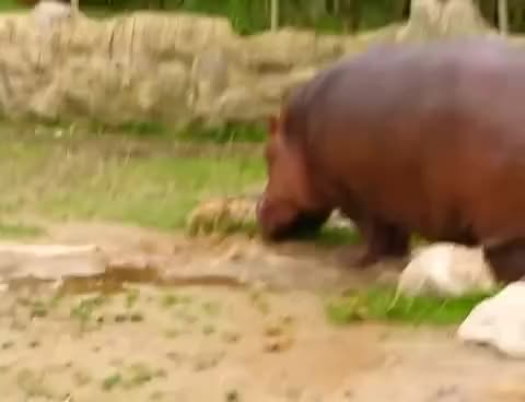 Watch Hippo gets explosive diarrhea. GIF on Gfycat. Discover more related GIFs on Gfycat