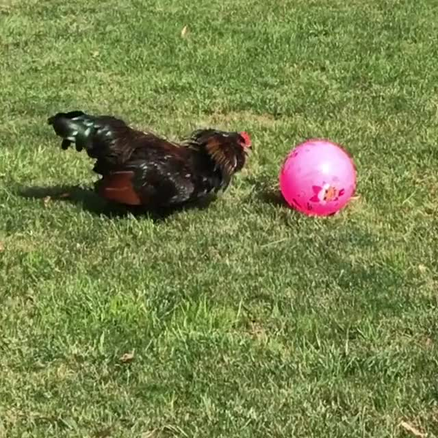Watch and share Chicken Soccer GIFs and Chickens GIFs by lnfinity on Gfycat