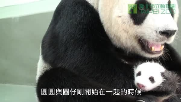 BearCubGIFs, bearcubgifs, Exhausted Yuan Yuan dared not close her eyes in case her cub needed her (shortly after meeting her cub Yuan Zai for the first time) (reddit) GIFs