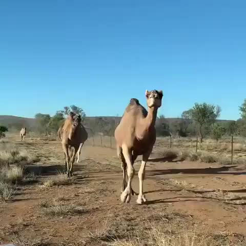 Watch and share Camel Lips GIFs by Boojibs on Gfycat