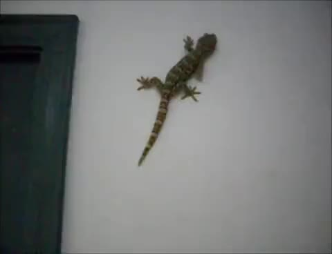 Watch and share Tokay Gecko Climbing GIFs on Gfycat