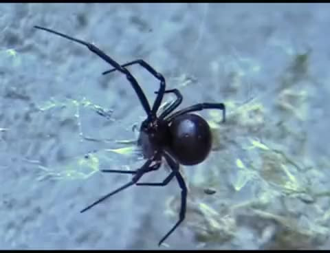 Watch and share Black Widow Spider GIFs on Gfycat