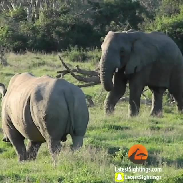 Watch and share Elephant GIFs and Rhino GIFs by PM_ME_STEAM_K3YS on Gfycat