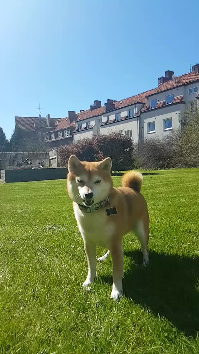 Watch and share Funny GIFs and Shiba GIFs on Gfycat