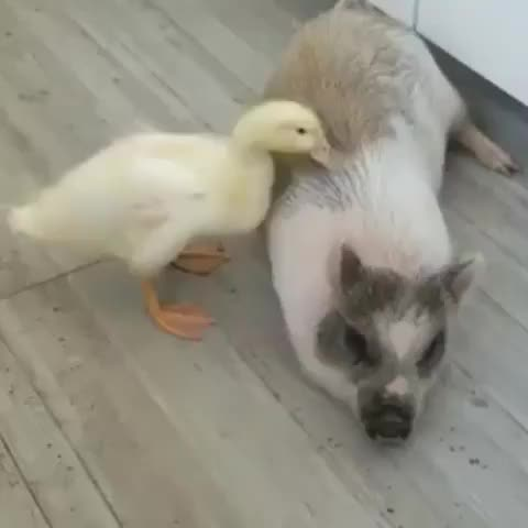 Watch and share Duck Gives Her Pig Friend Some Sprucing Up - Video By Interspeciesfriendship GIFs by b12ftw on Gfycat