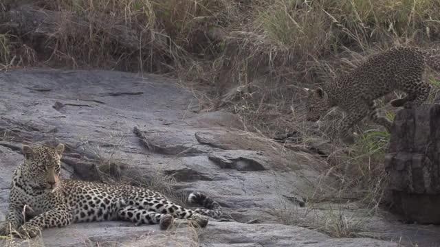 Watch and share Nanga And Cub Rocks GIFs by Londolozi Game Reserve on Gfycat