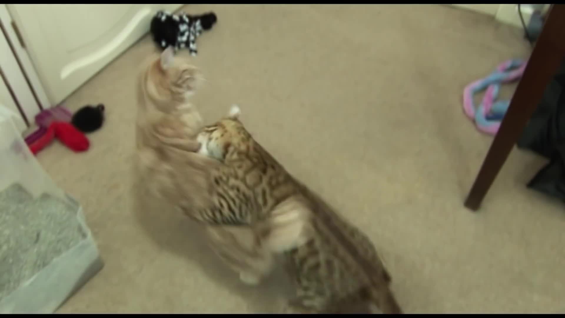 bengal (cat), catslaps, kitten (animal), Cat Fight! Bengal Kitten introduced to Adult Cat Part3 GIFs