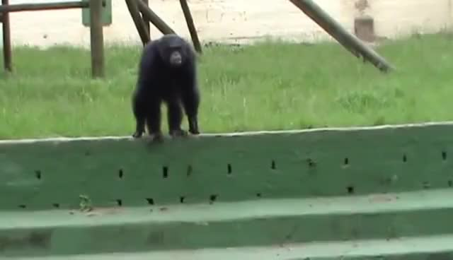 Watch and share Chimp GIFs on Gfycat