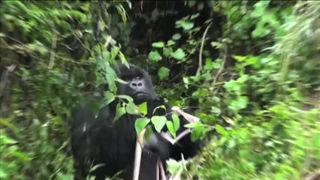 Watch and share Gorilla GIFs by honxyponxy on Gfycat