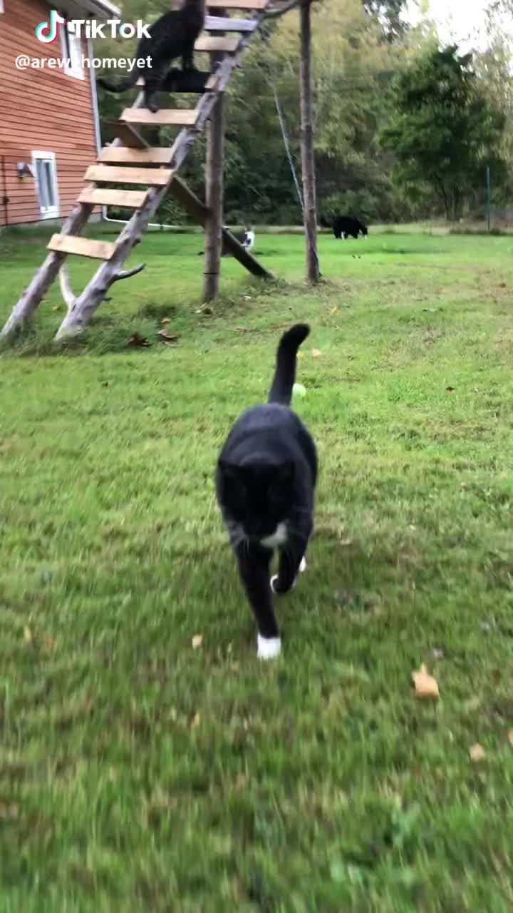 cats, cute, kitty, modelwalking, Who thinks Milan model walks well?!😺😁 #modelwalking  #cats #kitty #cute #comedy  #pets #animals GIFs