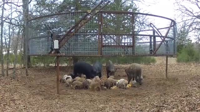 Watch and share A Corral Trap For Catching Wild Boar GIFs by tothetenthpower on Gfycat