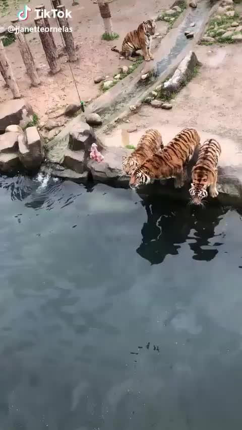 tigres GIFs