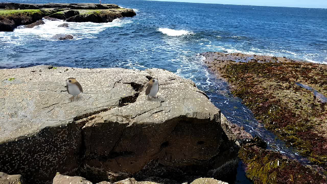 Porgs at Green Cape Lighthouse, New South Wales GIFs