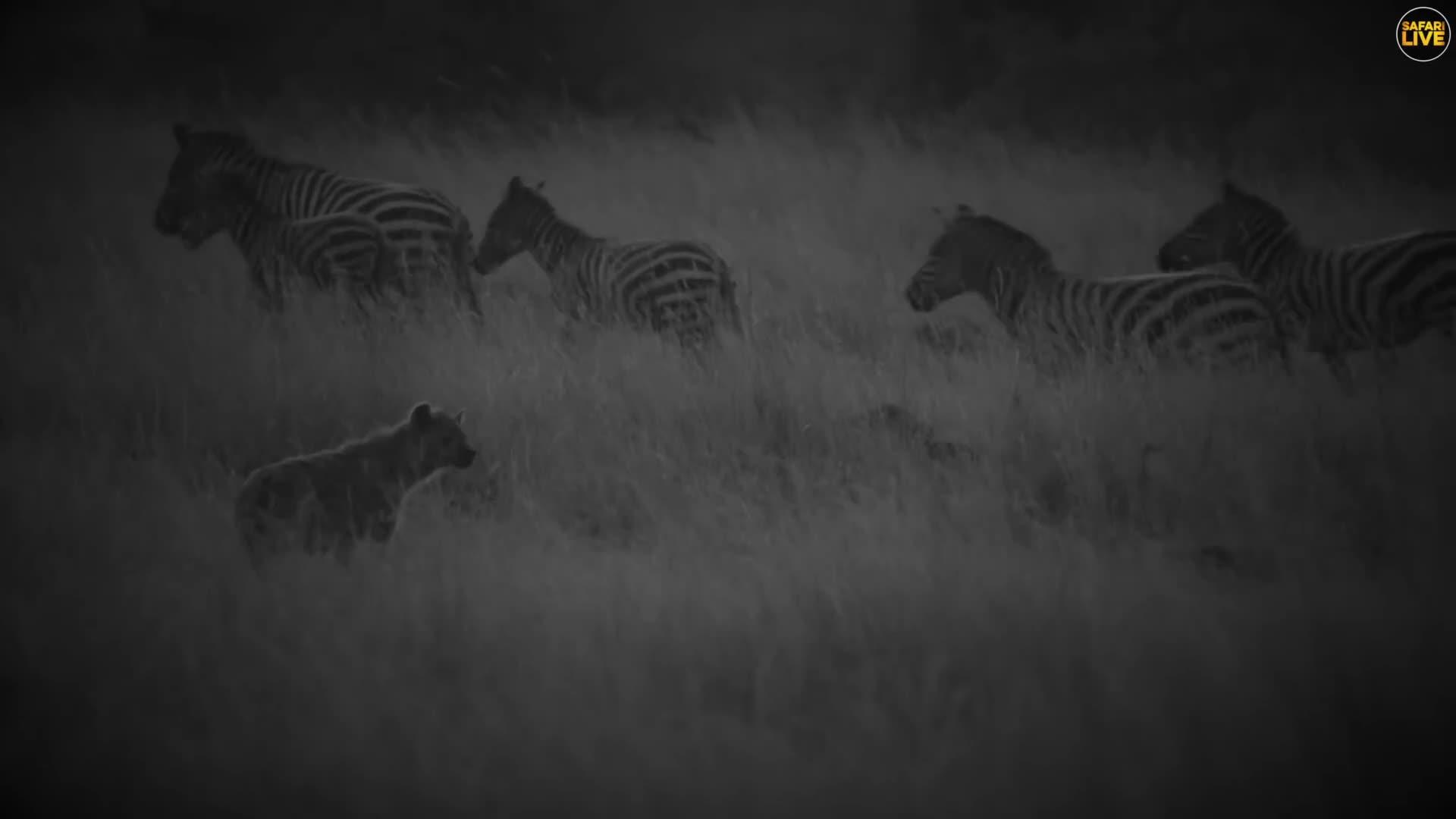 Hyenas capitalise on a zebra injured by a crocodile GIFs