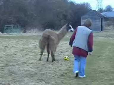 llama, llamas, soccer, Soccer-playing llama shows improved passing GIFs