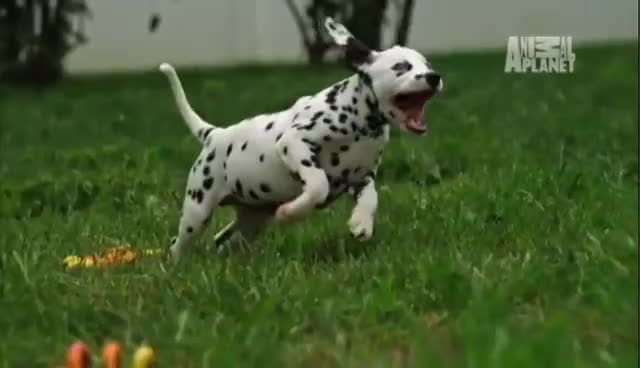 Adorable, Animal Planet, Dalmatian, Puppies, Puppy, Slow Motion, Too Cute!, Slow Motion Dalmatian GIFs