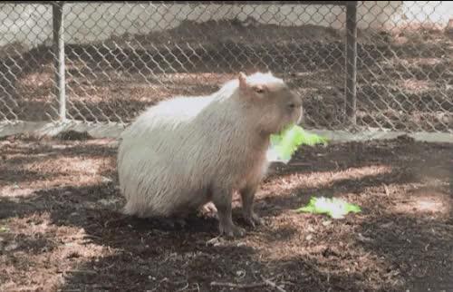 Watch and share San Antonio Zoo GIFs and Capybara GIFs on Gfycat