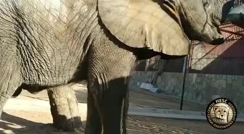 animallovers, animalsofig, animalsofinstagram, babyelephant, conservation, elephant, elephantcalf, elephantconservation, everysingleelephantcounts, hesc, hoedspruit, hoedspruitendangeredspeciescentre, hoedspruitendangeredspeciesctr, kapama, limpopo, southafrica, thisissouthafrica, wildlifeconservation, Mopane is not so little anymore!! — He is officially too heavy for our scales to weigh him! 🐘 He is now approximately 20 months old and in  GIFs