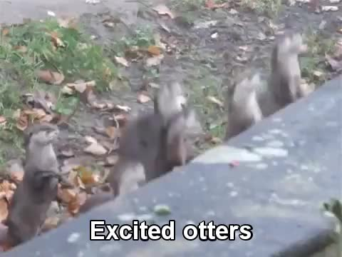 Watch Excited Otters GIF on Gfycat. Discover more otters GIFs on Gfycat