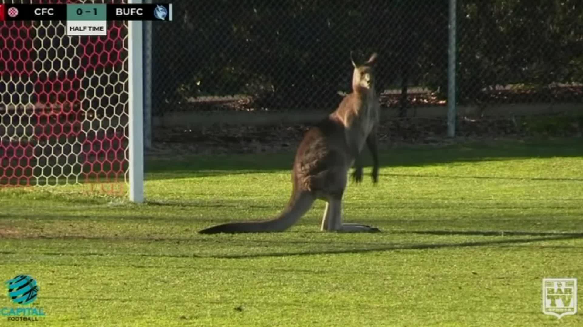 Australia, Canberra, field invasion, football, invades field, kangaroo, match, soccer, soccer match, socceroo, Kangaroo invades field at Australian soccer match GIFs