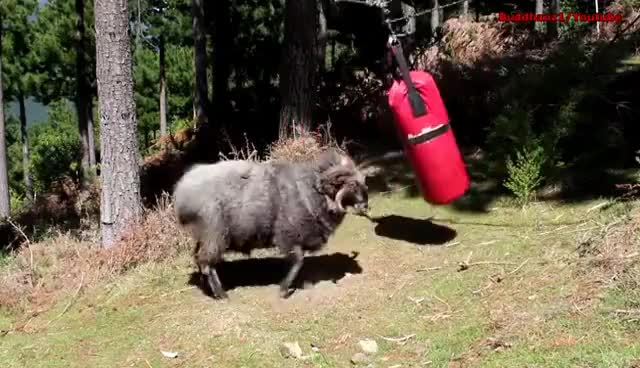 Watch and share Angry Ram Destroys A Punching Bag.. GIFs on Gfycat