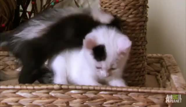 Who Knew Kittens and Skunks Made Such Good Friends? | Too Cute! GIFs