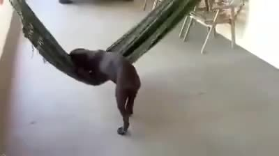 awwgifs, Dog enjoying a hammock. (reddit) GIFs