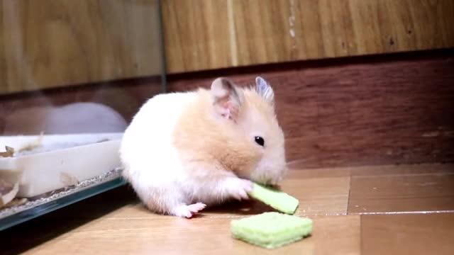 ハムスターの悪あがきが必死すぎて最高に可愛い!ー可愛い癒しおもしろ動物Hamster's bad luck is the most cute! 笑える 癒し 爆笑動物 手乗りハムスター 可愛い 動物のハプニング ペット動画 ゴールデンハムスター キンクマ オモシロ映像 なつく かわいい おもしろ ucaqwncqe7coyetvr5cxt87w kawaii hamster funny cute animal GIF