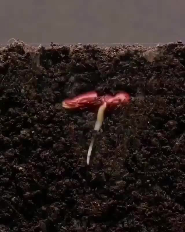 Watch and share Growing Kidney Bean 🌱, 25 Days Timelapse GIFs on Gfycat