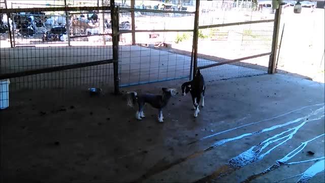 Watch Parkour Zoomies with a Friend GIF by KNS Farm (@knsfarm) on Gfycat. Discover more aww, baby goat, chinese crested, cute, doggo, funny, goat, goat kid, knsfarm, la mancha, parkour, pupper GIFs on Gfycat