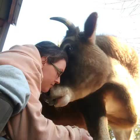 ferdinand, friendsnotfood, govegan, gratitude gate farm sanctuary, gratitudegate, rescue, sanctuary, Ferdinand is a happy steer at Gratitude Gate Farm Sanctuary GIFs