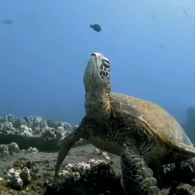 Watch and share Sea Turtle GIFs and Peaceful GIFs by The New Paper on Gfycat