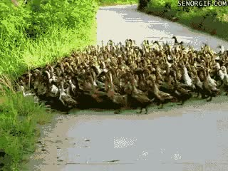 Watch and share Ducks GIFs on Gfycat