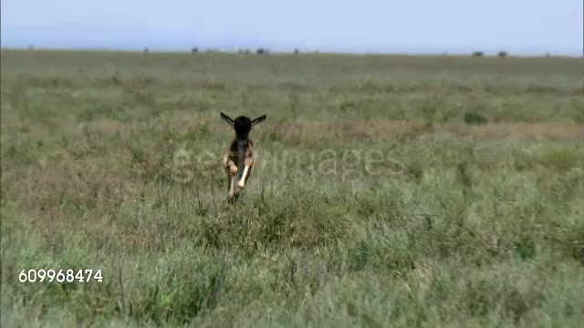 Watch and share An Abandoned Wildebeest Calf Makes A Terrible Mistake GIFs by Pardusco on Gfycat