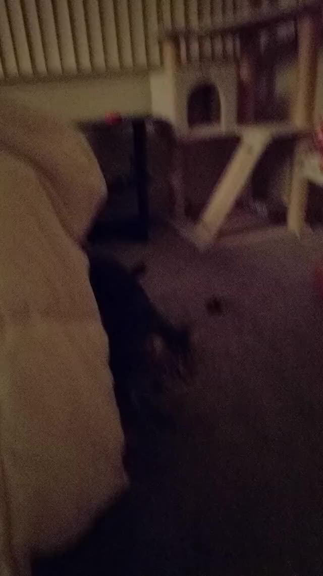 Watch Fetch Cat GIF on Gfycat. Discover more cat, fetch GIFs on Gfycat