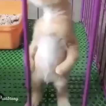 aww, kitten, funny, cute kitten standing up on his two feet and meowing super cute kitten cubHpix0Z9g 360p GIFs