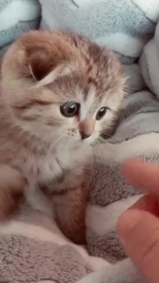 cat, cutecat, kitten, scottishfold, High five kitty! #scottishfold #kitten #cat #cutecat #cute #cats #고양이 #pettricks #pet GIFs