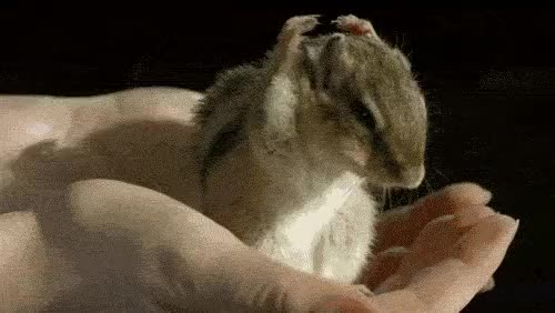 Watch Hamster GIF on Gfycat. Discover more related GIFs on Gfycat