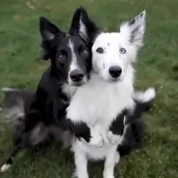 Watch and share Just Two Dogs Posing For A Photo! GIFs on Gfycat