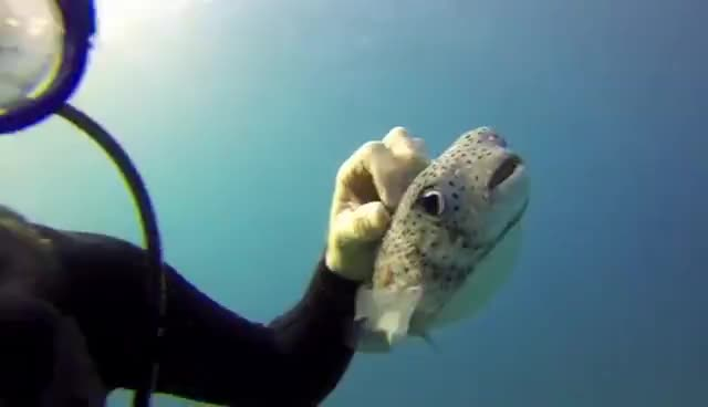 Unbelievable - First Time Scuba Diving in Hawaii with a Oahu Friendly Puffer Fish GIFs