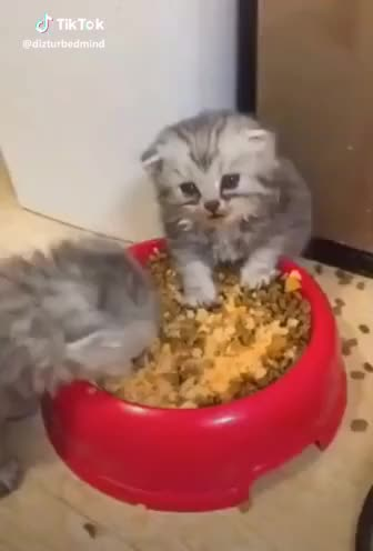 Watch and share Nomnomnom GIFs and Kitten GIFs by Eric on Gfycat