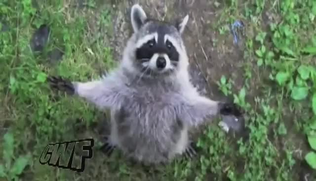 Watch and share Racoon GIFs and Hug GIFs on Gfycat